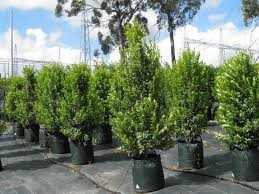cheap native plants native plants and contract growing mansfield brisbane nursery