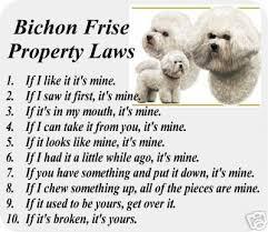 bichon frise dog pictures 327 best bichon crazy images on pinterest bichons puppies and