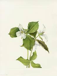 north american native plants snow trillium mary vaux walcott north american wildflower prints