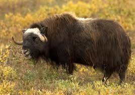 Bison Connect Department Of Interior The Energy Case Against Drilling In The Arctic National Wildlife