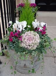 lemon cypress ornamental cabbage cyclamen and pansy in a