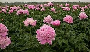 wholesale peonies peony wholesale peony grower exporter