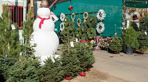 frosty u0027s forest christmas tree farm u2013 green landscape nursery scv