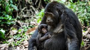 gorilla trekking uganda u0026 rwanda natural world safaris