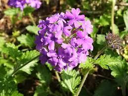verbena flower verbenas how to grow and care for verbena plants garden helper