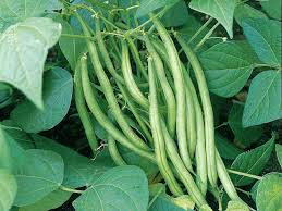 how to grow french and runner beans saga