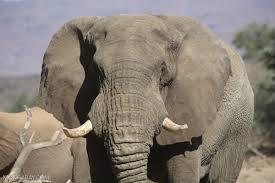 cites cop17 closes after key votes on elephants lions pangolins