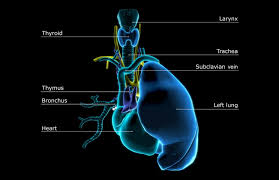 What Is Human Anatomy And Physiology Learn About The Thymus Gland