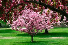 trees with pink flowers pink flowering trees
