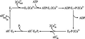 biochemical characterization of p type copper atpases