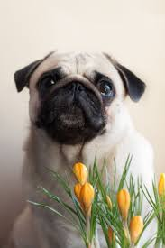 548 best love pugs images on pinterest animals pug dogs and