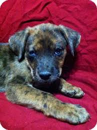 australian shepherd lab mix puppy chip adopted puppy 0025701 new hartford ct australian