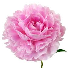bulk peonies peony flowers march delivery