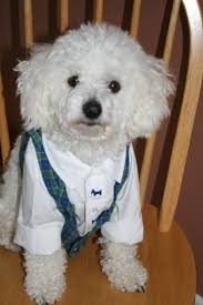 bichon frise virginia 75 best bichon frise images on pinterest animals puppies and
