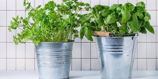 how to grow herbs indoors bunnings warehouse