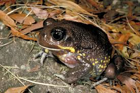 rare giant burrowing frog found in upper mullet creek pittwater