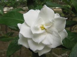 flor gardenia buscar con google art tattoo pinterest gardenias