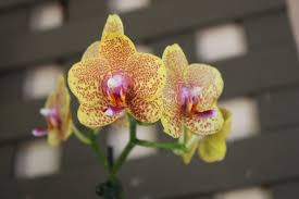 yellow orchid yellow and purple orchid the ohrns