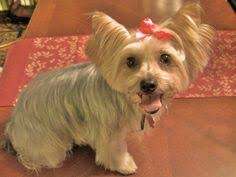 yorkie haircuts pictures only yorkie hairstyles or yorkie haircuts miniature yorkshire terrier