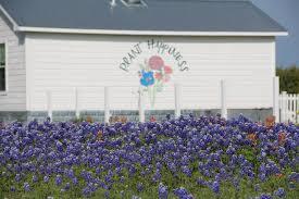 Bluebonnet Flowers - bluebonnets