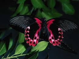 hd beautiful black butterfly