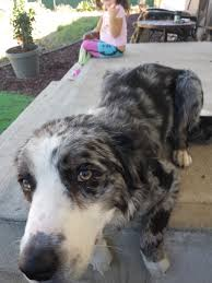 australian shepherd and border collie mix lost dog border collie australian shepherd mix named