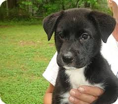 bearded collie and border collie mix sassy adopted puppy old bridge nj border collie german