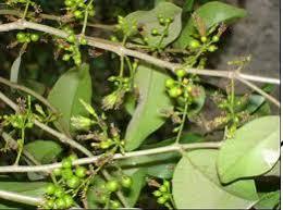 inilah ramuan pembesar penis rahasia dari pulau papua
