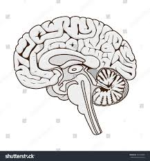 brain anatomy coloring book structure human brain section schematic raster stock illustration