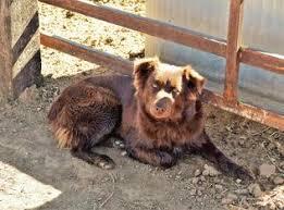 australian shepherd family dog australian shepherds
