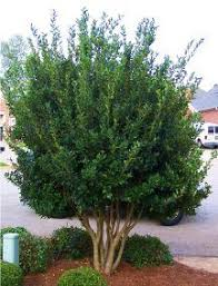 Backyard Privacy Trees Best Yard Plants For Privacy In Kentucky Top Small Trees For