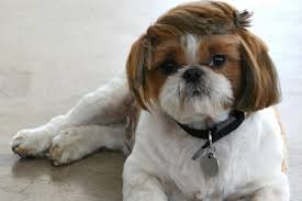 7 popular shih tzu haircuts shihtzu wire