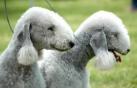 bedlington terrier guard dog hypoallergenic dogs list the best dog breeds for people with
