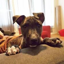 american pitbull terrier z hter deutschland bull terrier dogs u0026 puppies gumtree australia free local