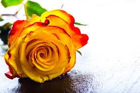 Rose Flower Images Rose Flower Meaning Flower Meaning