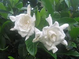 when can i cut back gardenia southern living