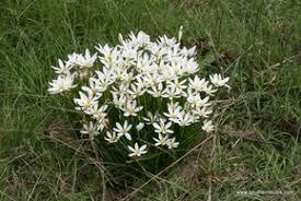 Rain Lily White Rain Lilies The Southern Bulb Co