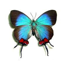 butterfly gifts thecla coronata blue the crowned hairstreak real