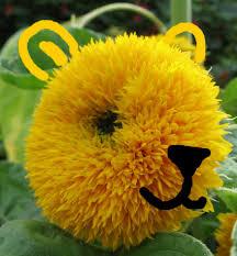teddy sunflowers yellow teddy