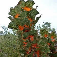 australian native edible plants 5 australian flowers with edible nectar forage u0026 harvest