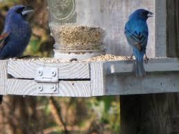 How To Attract Indigo Buntings To Your Backyard Birds Of Bartow County Indigo Buntings And Blue Grosbeaks