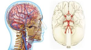 Vascular Anatomy Of The Brain Block Vascular Origins Of Cognitive Decline Life Extension