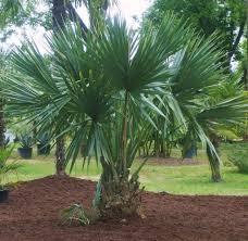 palmier du chili les palmiers rustiques u2013 societe d u0027horticulture de touraine