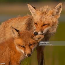Delaware wildlife images Red fox mother and pup nuzzling bombay hook national wildlife