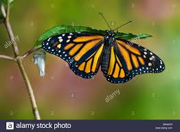 monarch butterfly emerged from cocoon on leaf beside empty