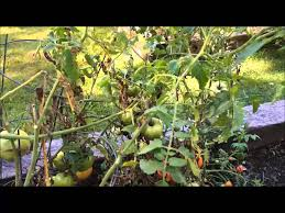 why is my tomato plant dying youtube