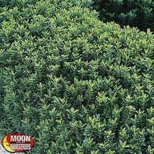 shrubs moon valley nurseries