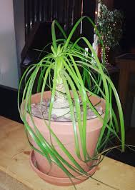 indoor plants that need little light aloe vera planting and growing aloe vera plants the old