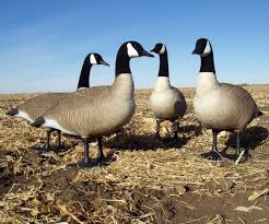 big foot bigfoot canada goose bull sentry decoys flocked