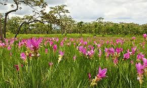 flower places the best places to see beautiful flowers in thailand thai travel